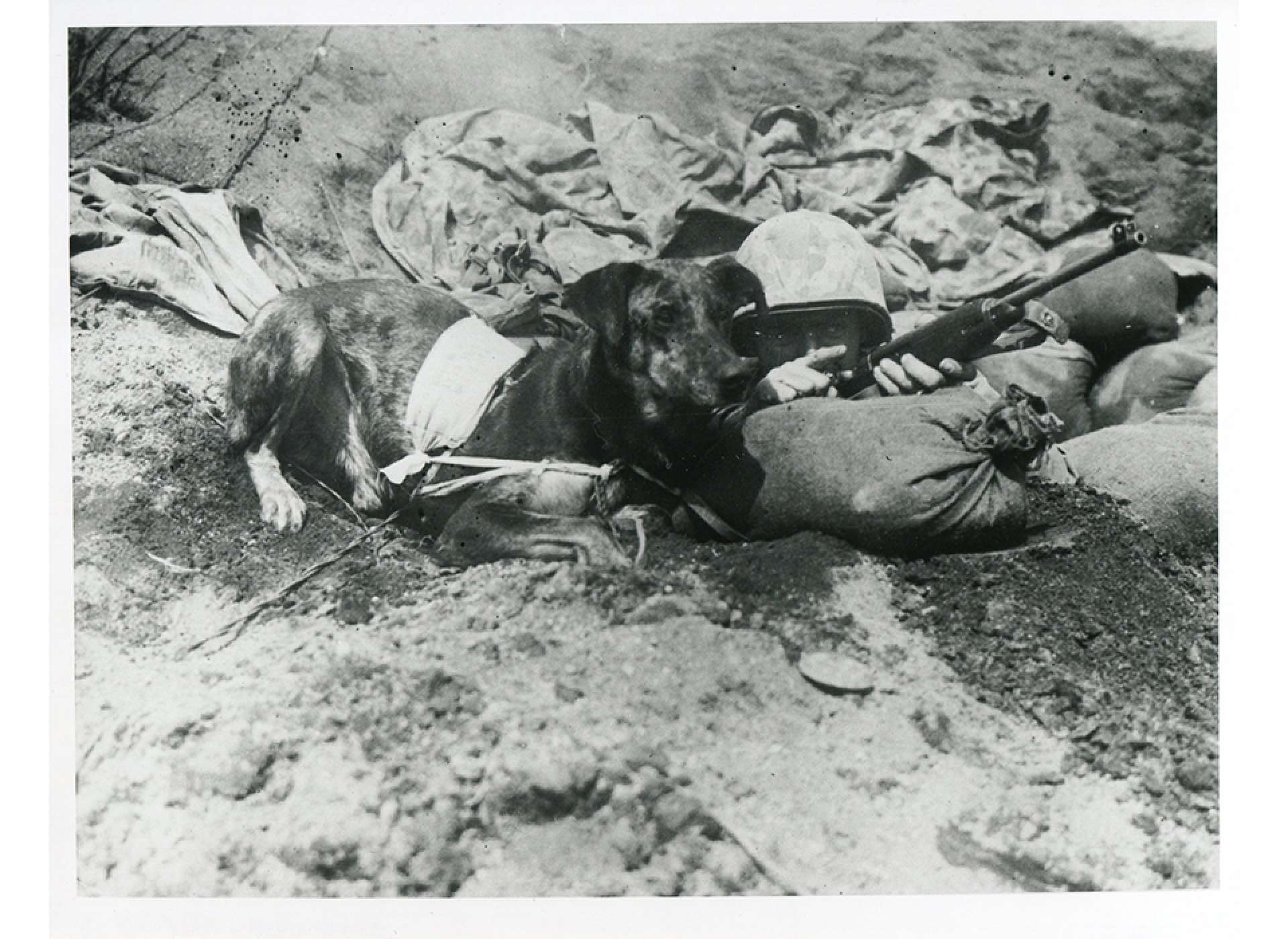 On Iwo Jima, US Marine Cpl. Virgil Burgess instructs his messenger dog, Prince. Notice the special messenger pouch Prince wears to deliver messages. National Archives photo.